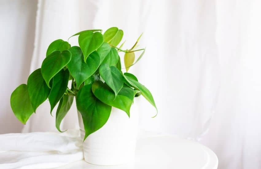 How to plant Philodendron plant