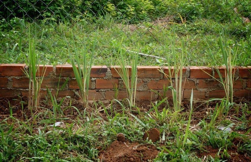 Is Lemongrass an Annual or Perennial
