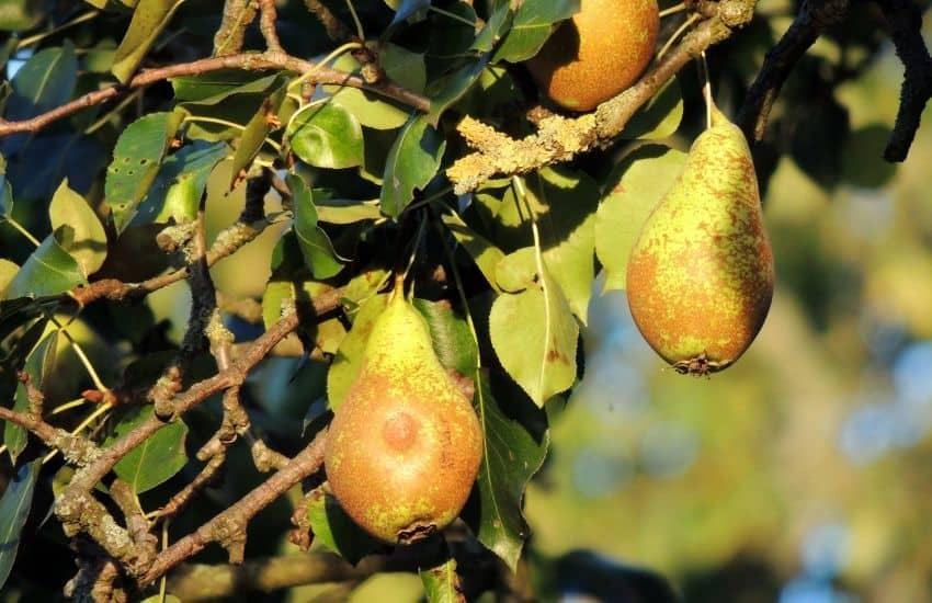 Pear Tree Diseases Rust