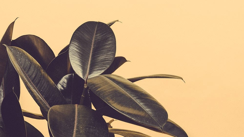 Revive a Dying Rubber Plant