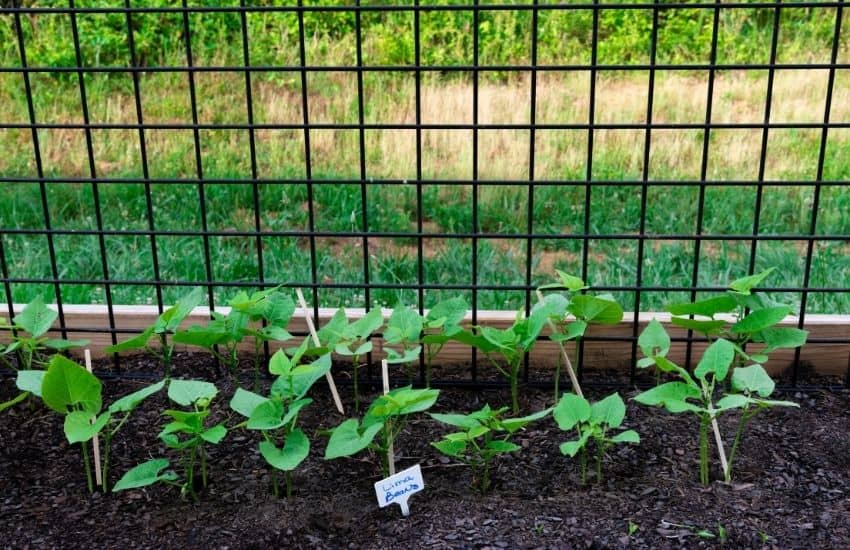 What makes Lima Beans grow faster