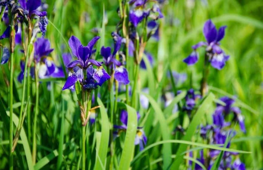 Where do Irises grow best