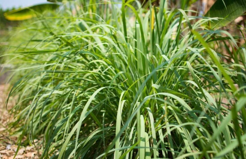 Where does Lemon grass grow best