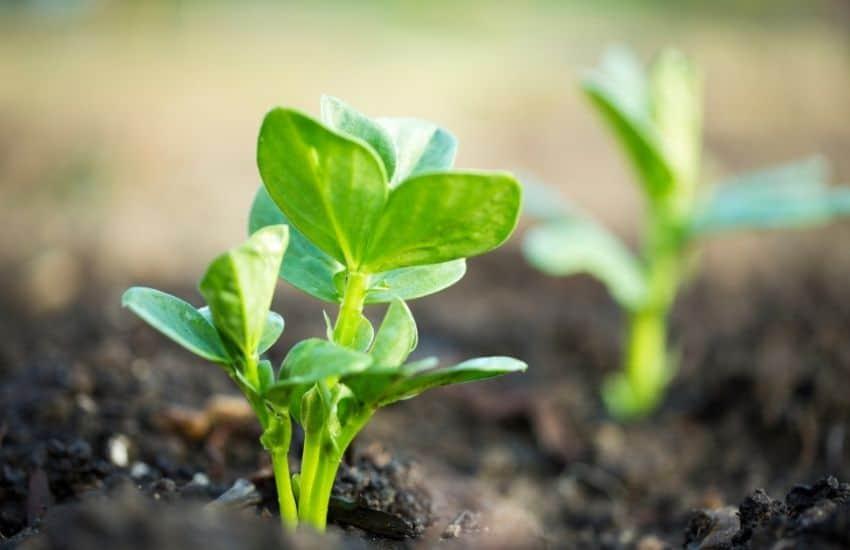 grow Lima Beans