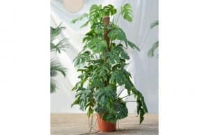 Grow and Care Philodendron plant