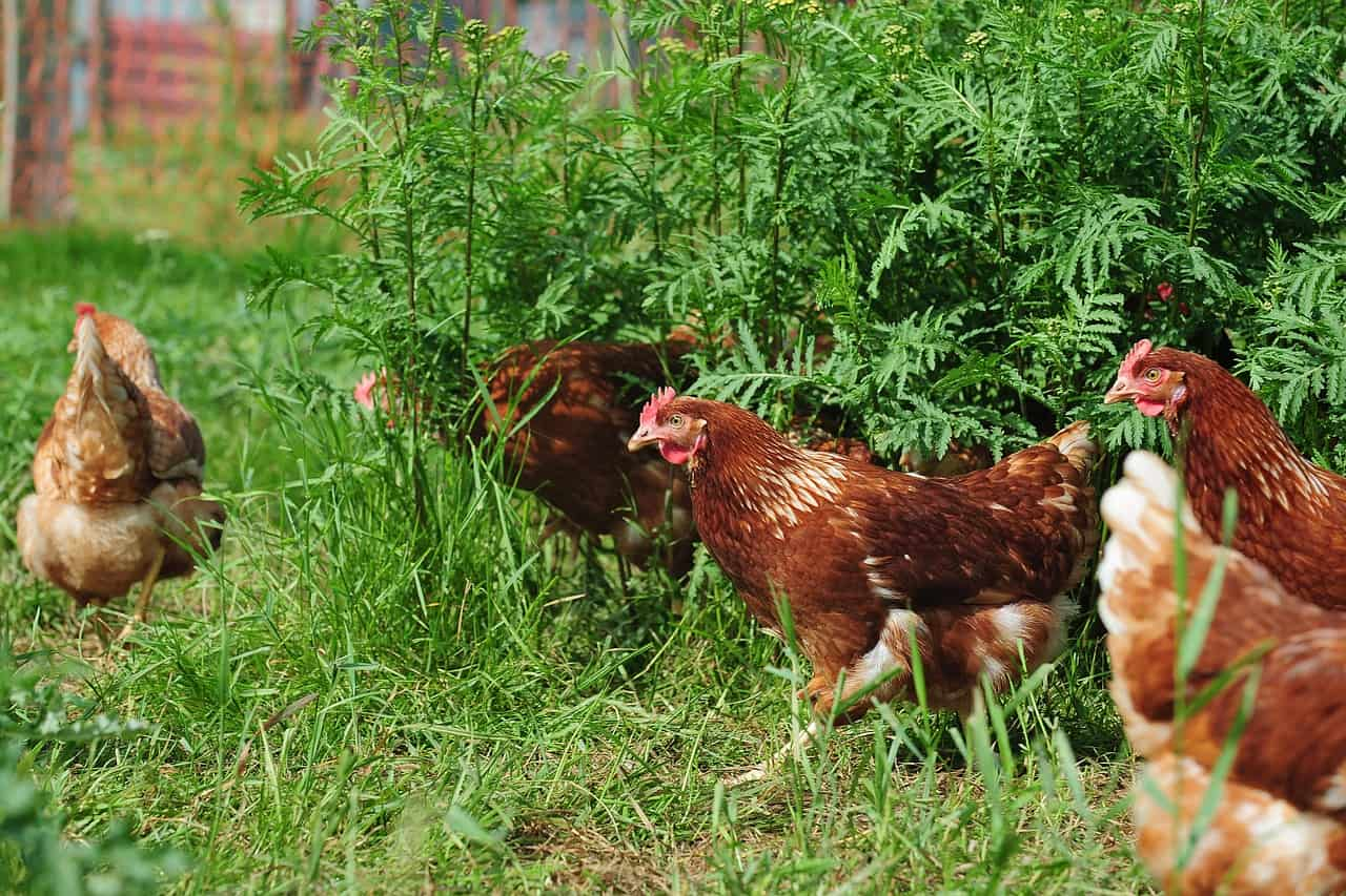 methods that work to keep chickens out of the garden