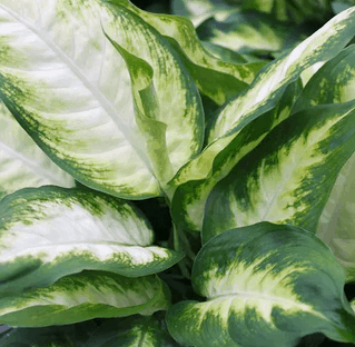 Dieffenbachia Camille plant