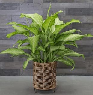 Dieffenbachia Camouflage Plant