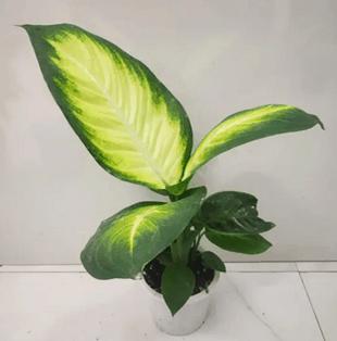 Dieffenbachia Honeydew