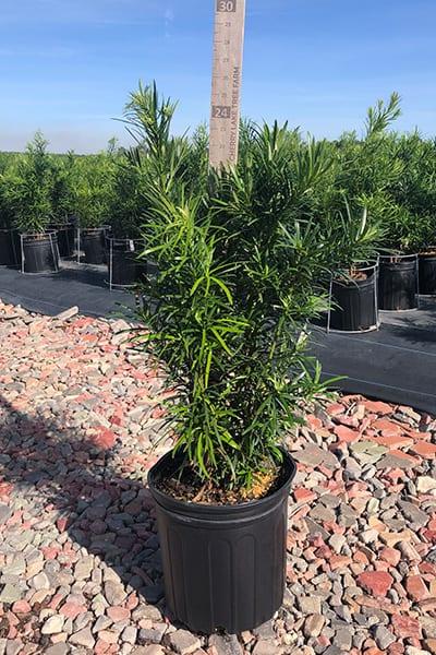 Grow Podocarpus From Cuttings