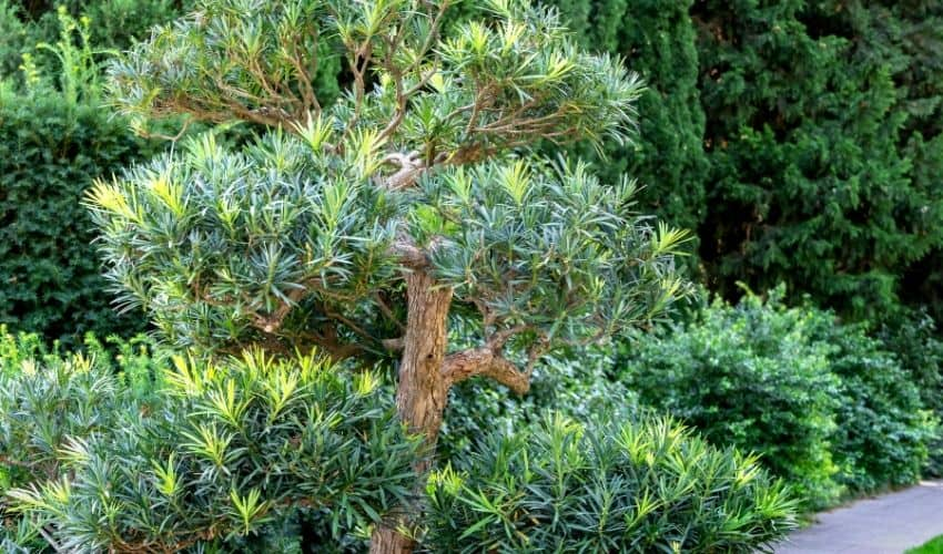 How To Grow Podocarpus From Cuttings