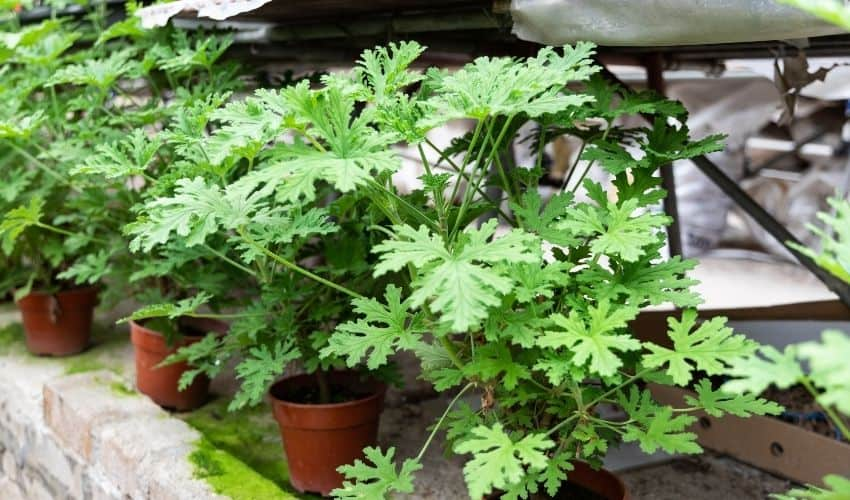 grow citronella plant from cutting