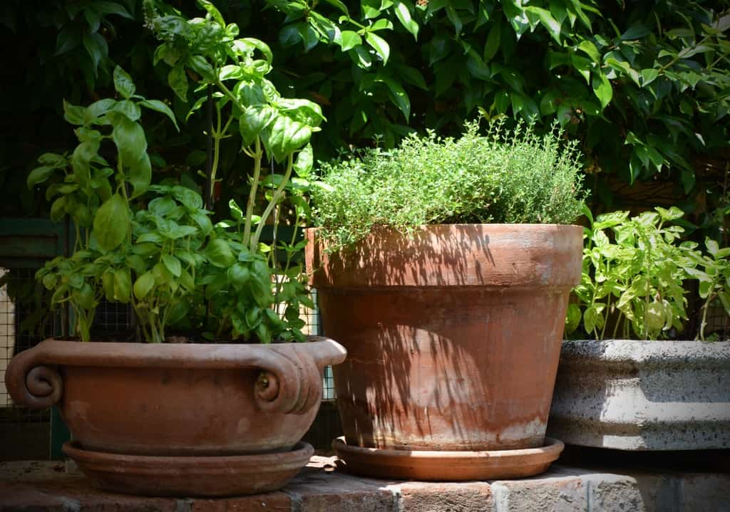 Types of herbs you can plant in pots