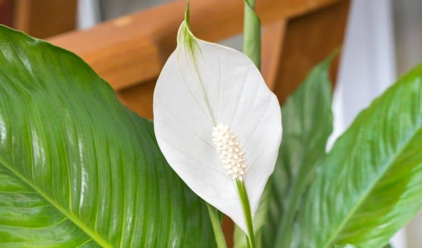 How to prune a peace lily