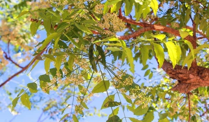 Neem oil for organic gardening