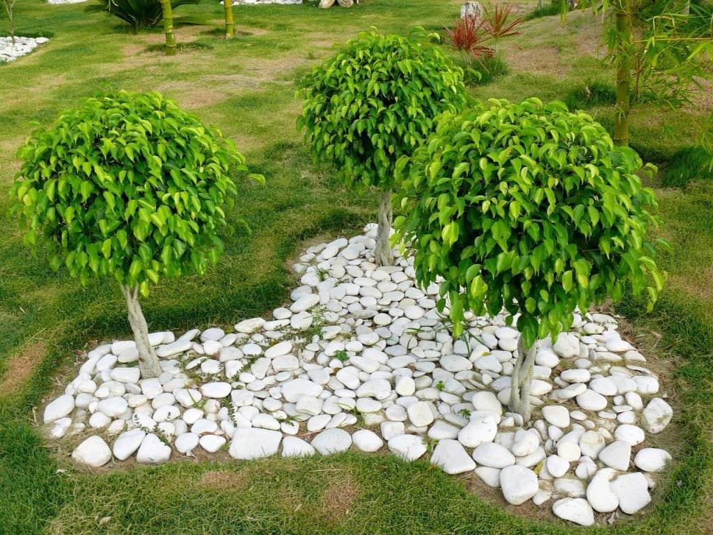 how to trim a ficus tree