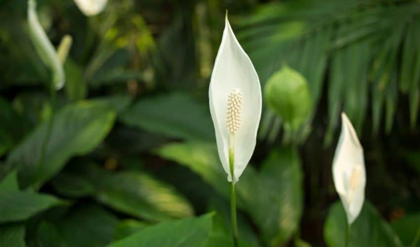 peace lily pruning tips
