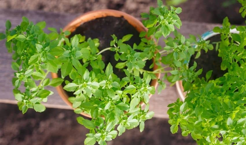 planting herbs in pots