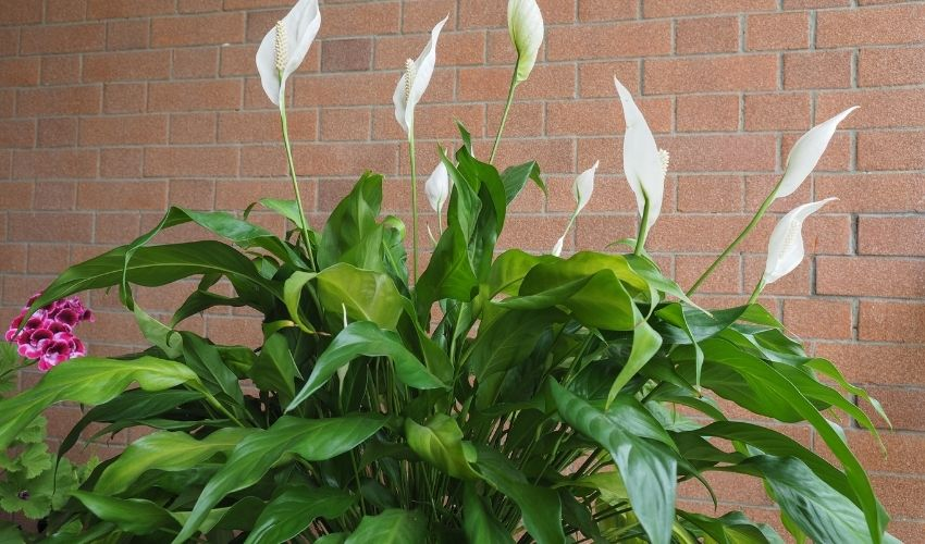 how to propagate peace lily