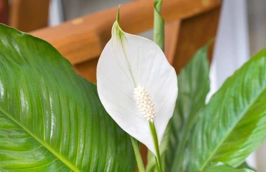 How to divide a peace lily