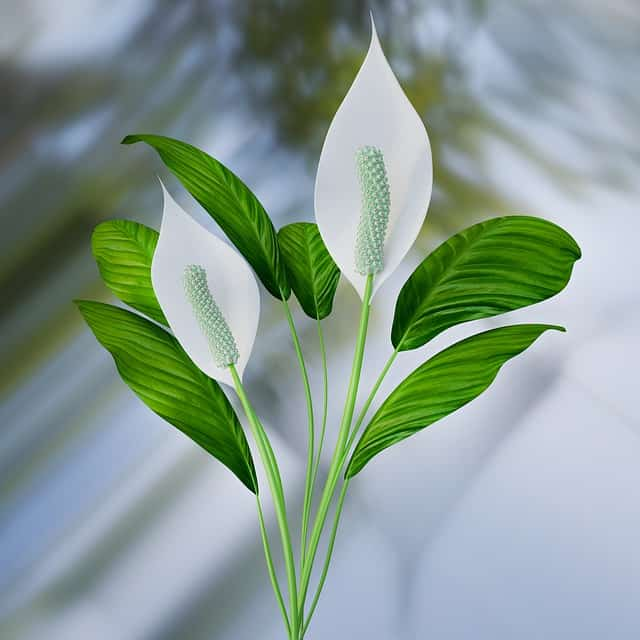 What are best potting soil for peace lily