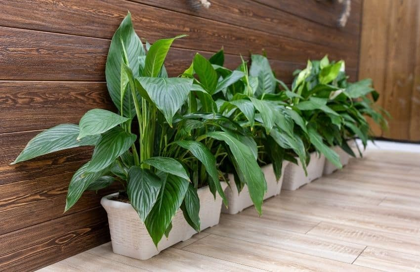 Why Peace lily not flowering