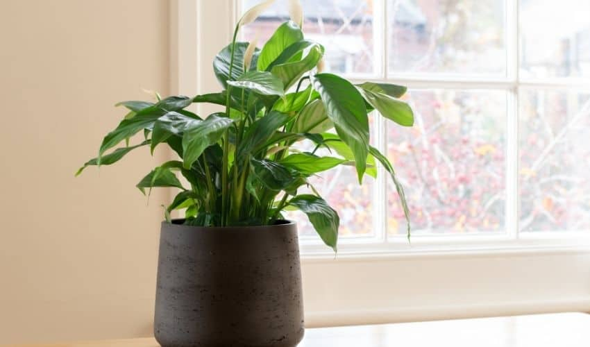 repotting peace lily