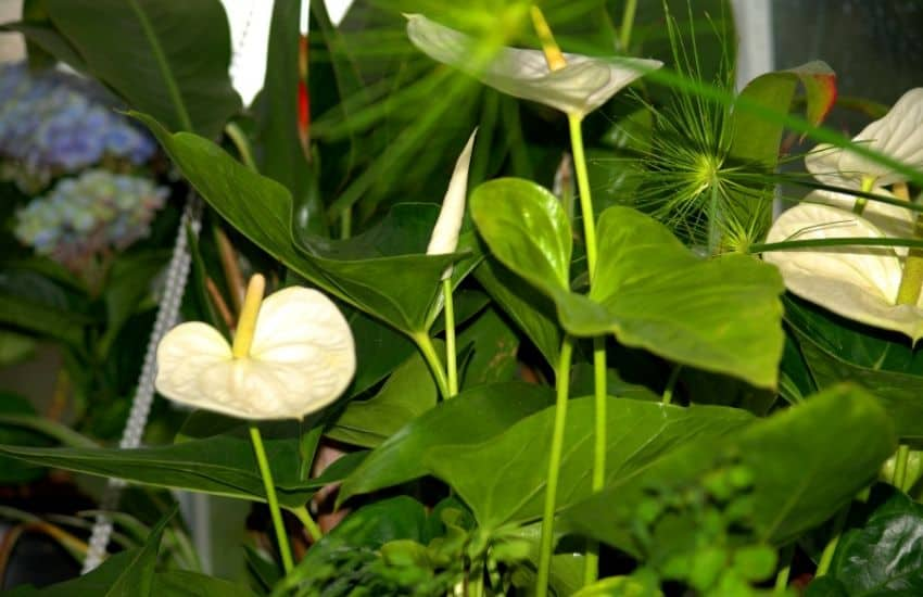 Is Peace lily poisonous to cats