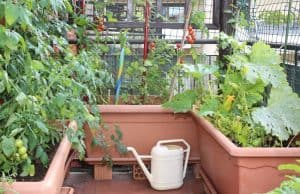growing tomatoes on balcony