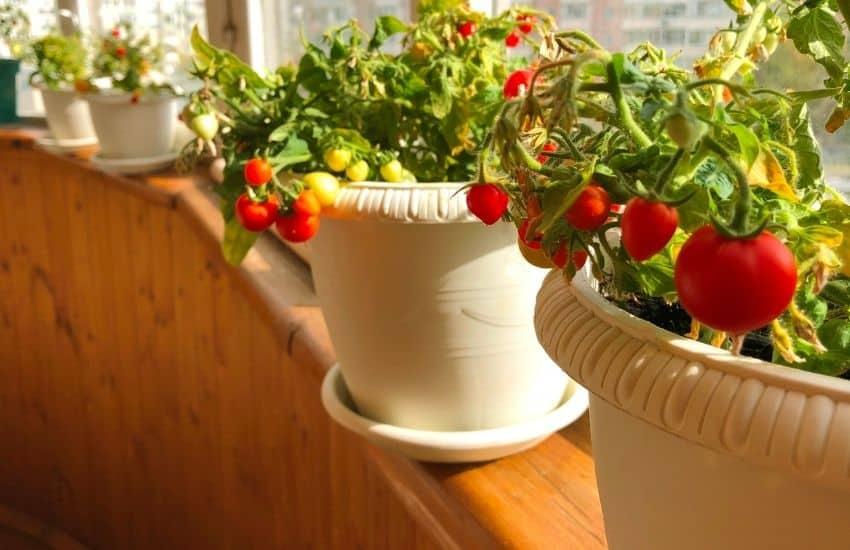 growing tomatoes on balcony