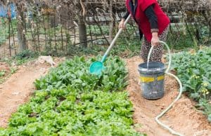 How often to water vegetable garden in summer