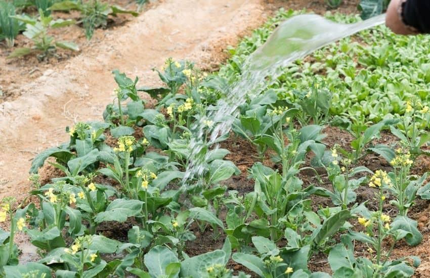 watering vegetable garden in summer