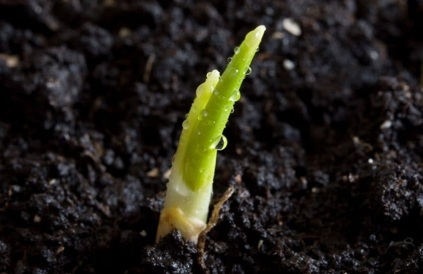 Grow Garlic From a Seed