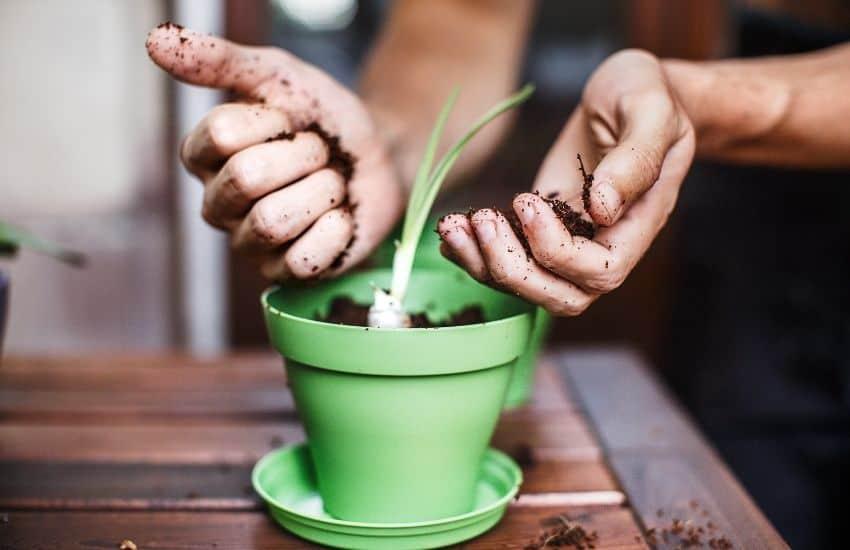 Grow Garlic in Pots