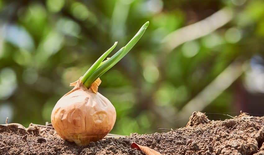 Best Ways to Grow Onions