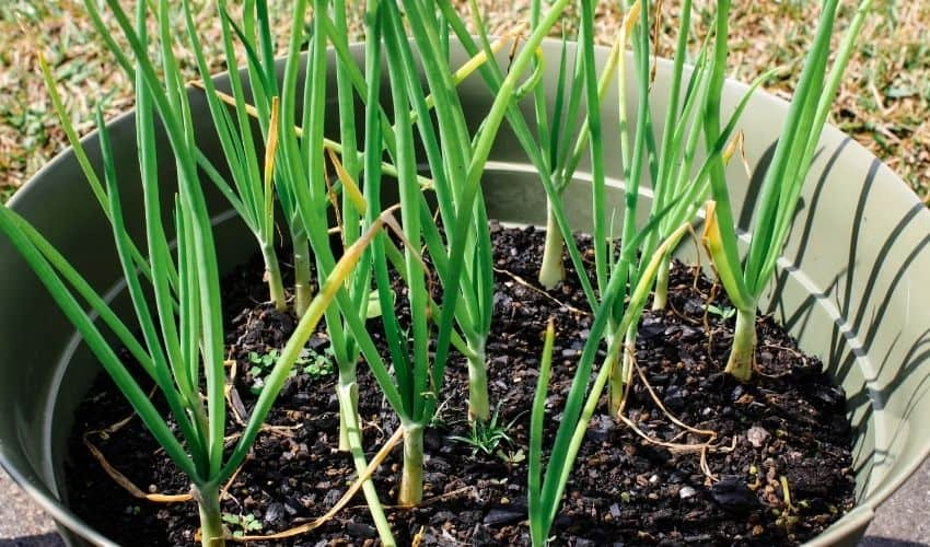 How To Grow Onions at Home in Pots
