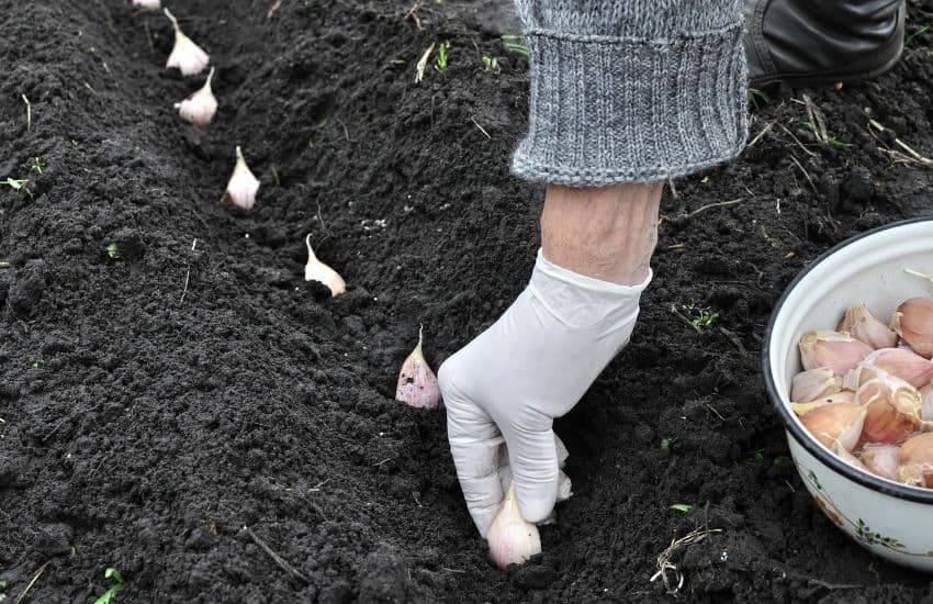 How to Grow Garlic From a Seed