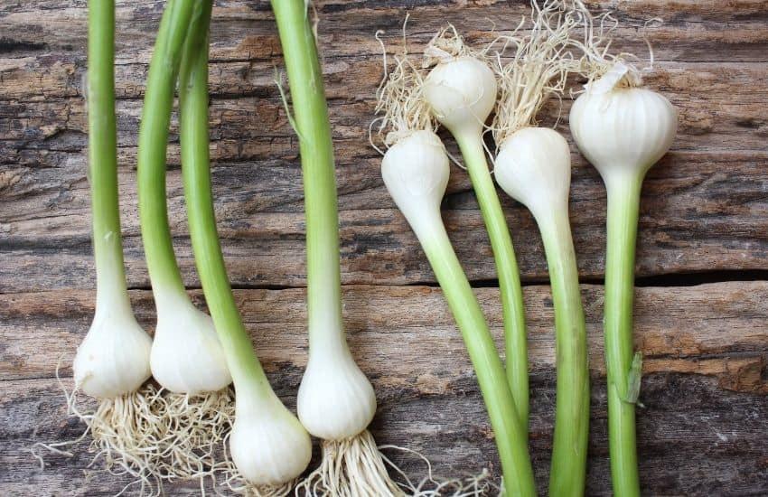 How to grow garlic hydroponically
