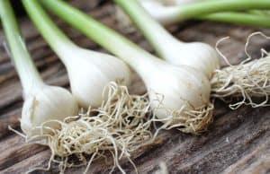 How to grow garlic in water bottle