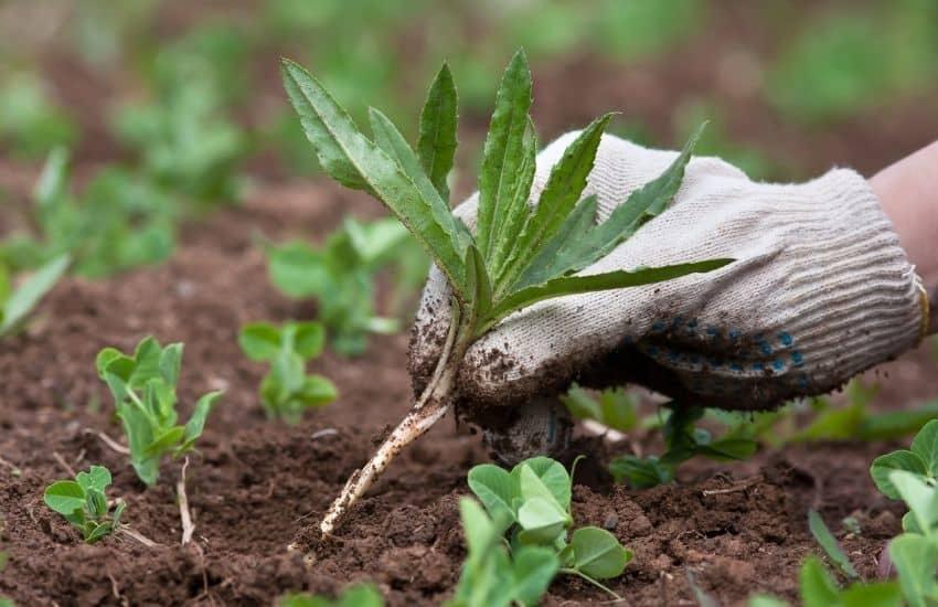 How to kill weeds in vegetable garden