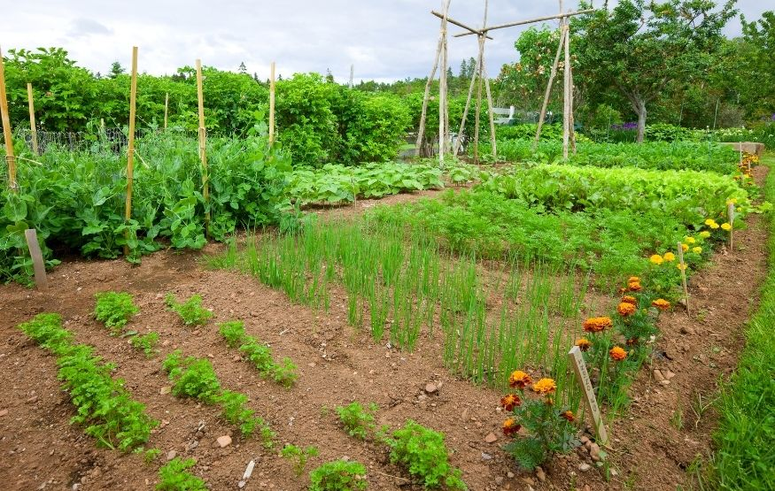 Where to plant marigolds in vegetable garden