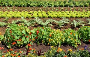 Where to plant marigolds in vegetable gardens