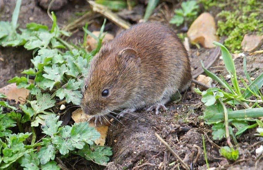 get rid of voles in vegetable garden