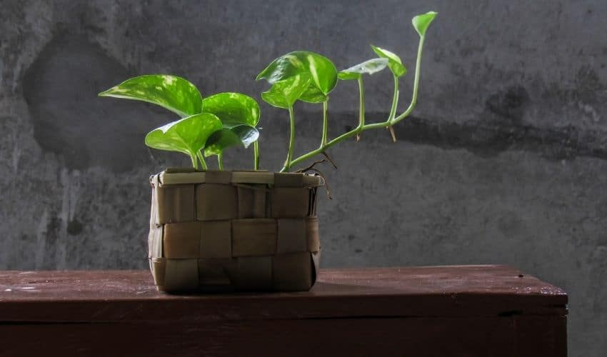 grow money plant faster