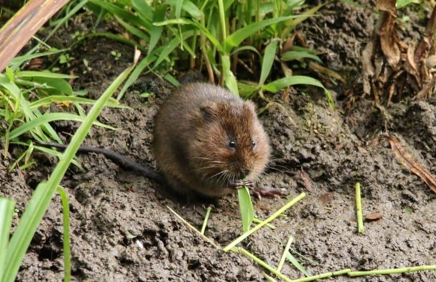 how to get rid of voles in vegetable garden