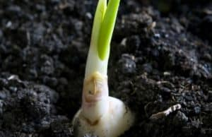 how to grow garlic in soil