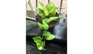 how to grow money plant faster