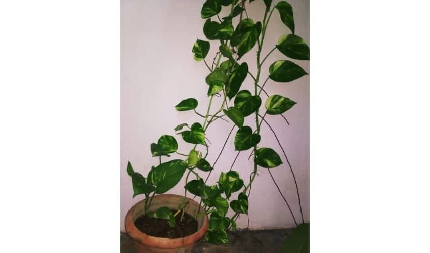 how to grow money plant faster indoors