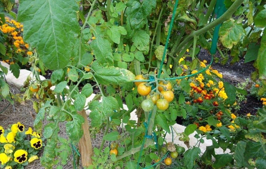 plant marigolds in vegetable garden