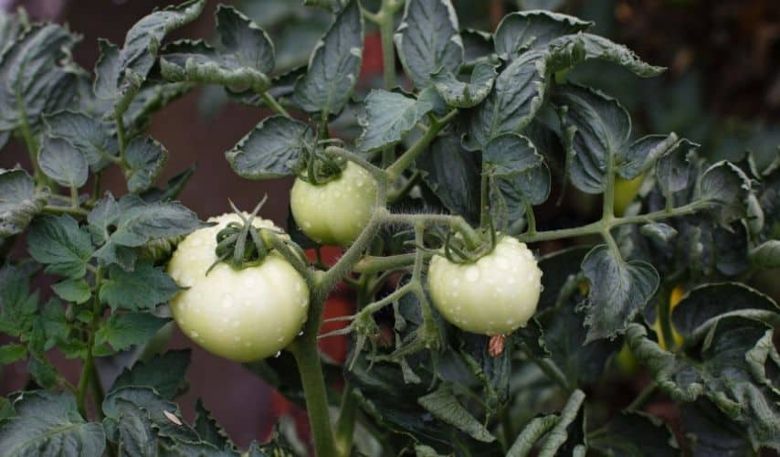 protect vegetable garden from heavy rain